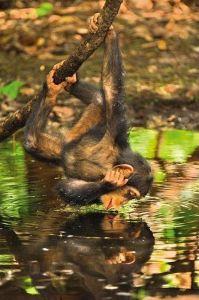 Puzzle Clementoni 1000 dílků - National Geografic - Šimpanz - 39301